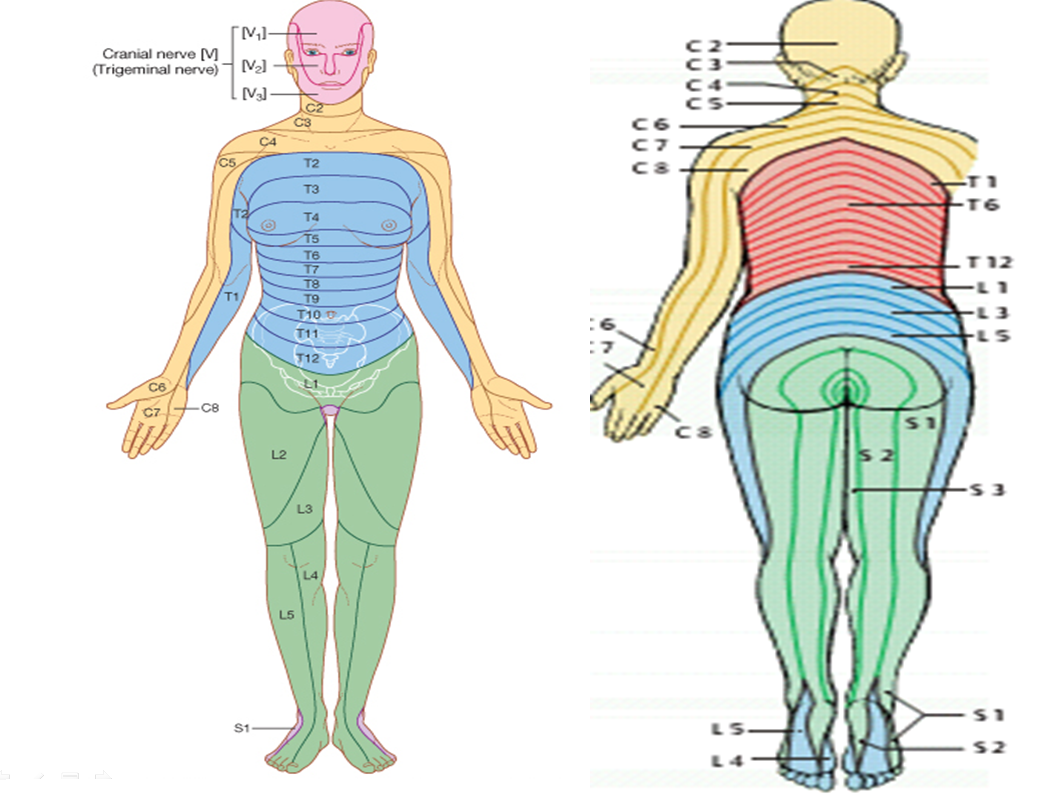 Lumbar Nerve Root Diagram Basic Start Stop Wiring Mbbs Medicine Humanity First Anatomy Of Spinal Cord