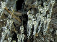 Cara Reproduksi Zygomycota dan Ciri-Cirinya