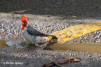 Red-crested Cardinal with crest fully deployed getting ready for a bath – Aiea Trail on Oahu – © Denise Motard