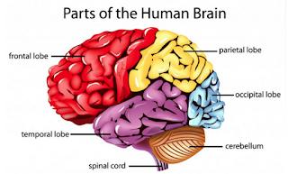 parts of brain
