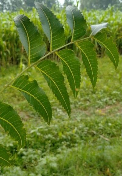 Neem । Benefits of neem । Top benefits of neem.