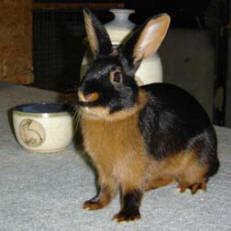 jenis kelinci tan