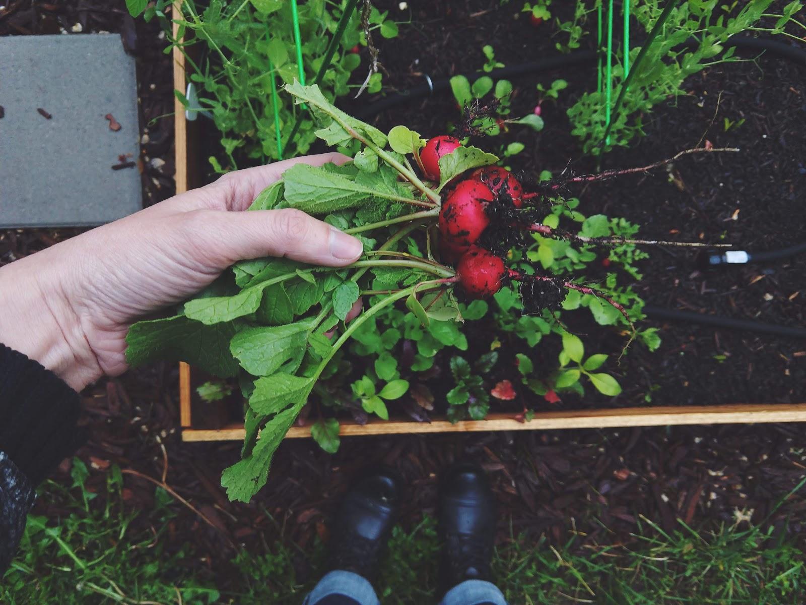 Radish harvest // www.thejoyblog.net