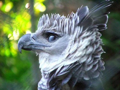 Rostro de águila arpía