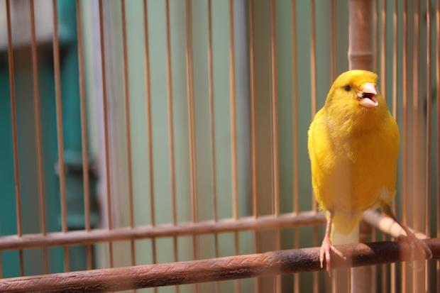 Suara Burung Kicau Kenari Yorkshire Rasa Blackthroat