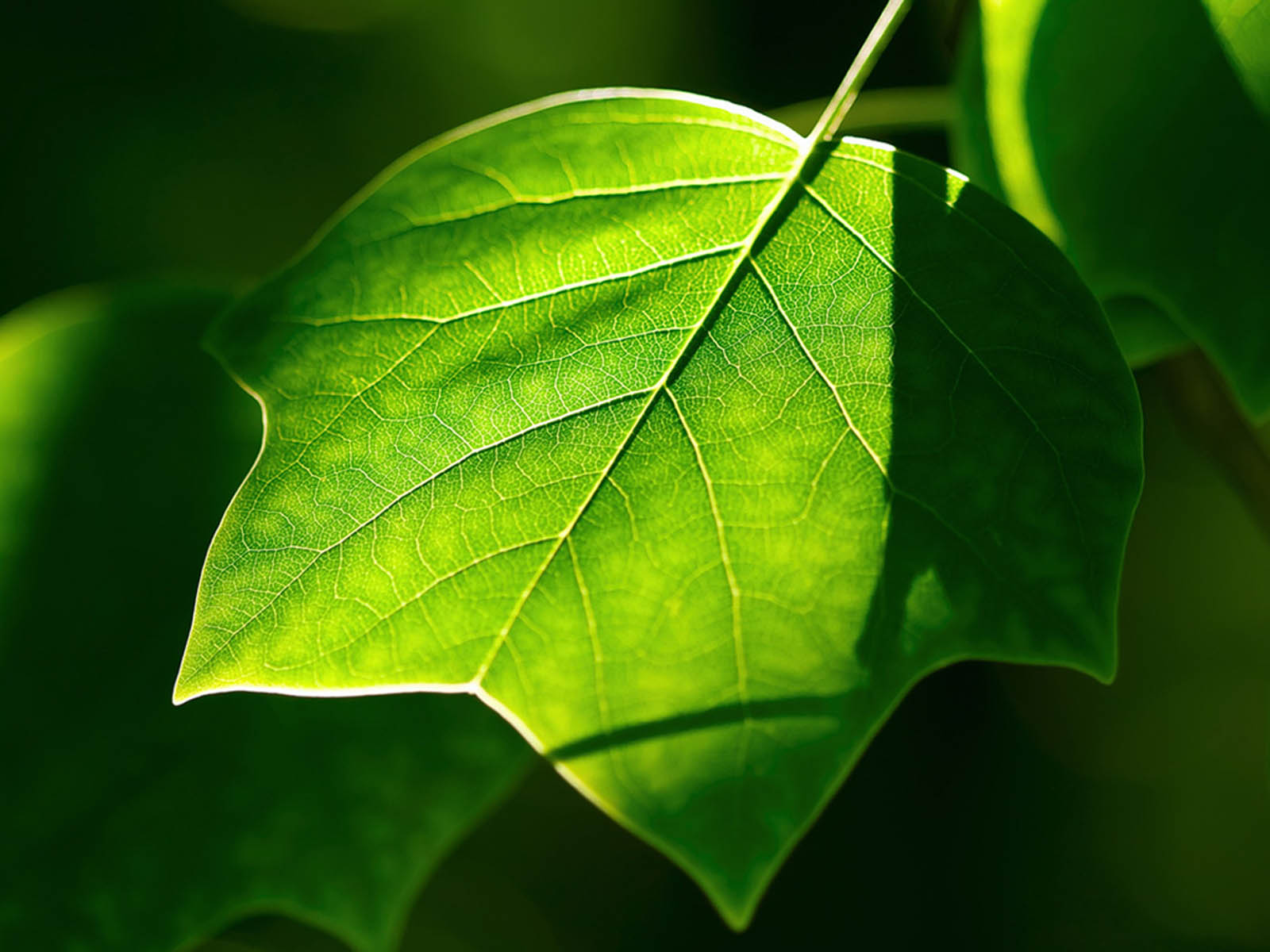 wallpapers: Green Leaf Wallpapers