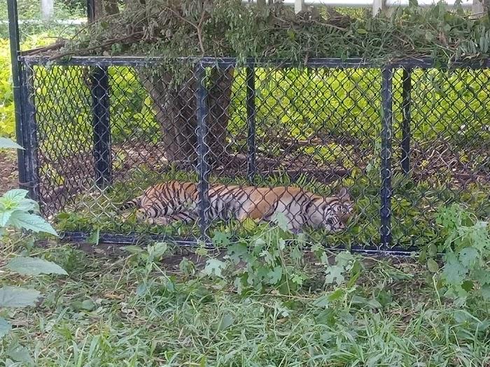 Sempat Resahkan Warga, Harimau Sumatera Kini Bisa Dilihat Dari Dekat