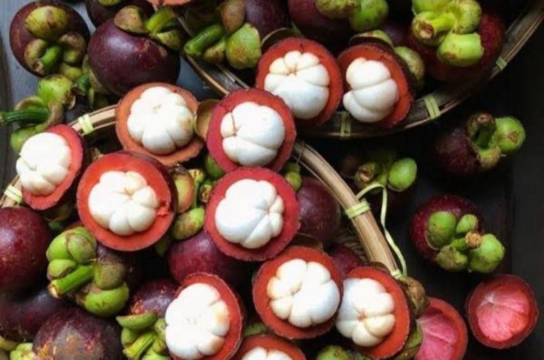 Bibit Manggis Hibrida SuperMurah Aceh