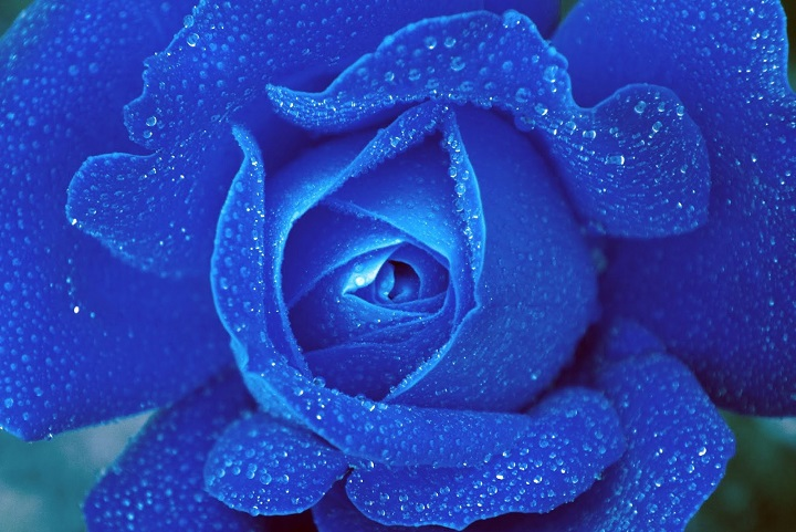 Bunga mawar biru paling indah