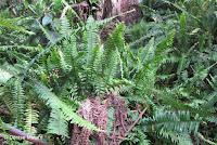 Nephrolepis-kupukupu Fern - Hawaii Volcanoes National Park, HI