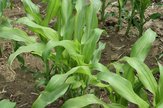 sulfur deficiency corn