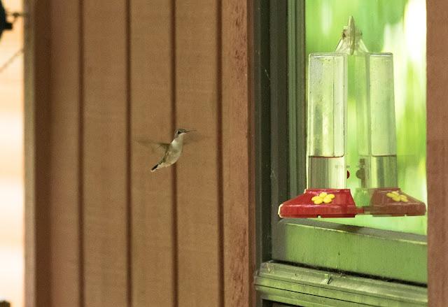 Ruby-throated Hummingbird - Hartwick Pines, Michigan, USA