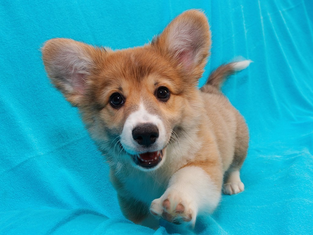 puppies cute puppy corgi very dog adorable memes funny meme dogs come pup cutest cutie corgis baby corgie better pet