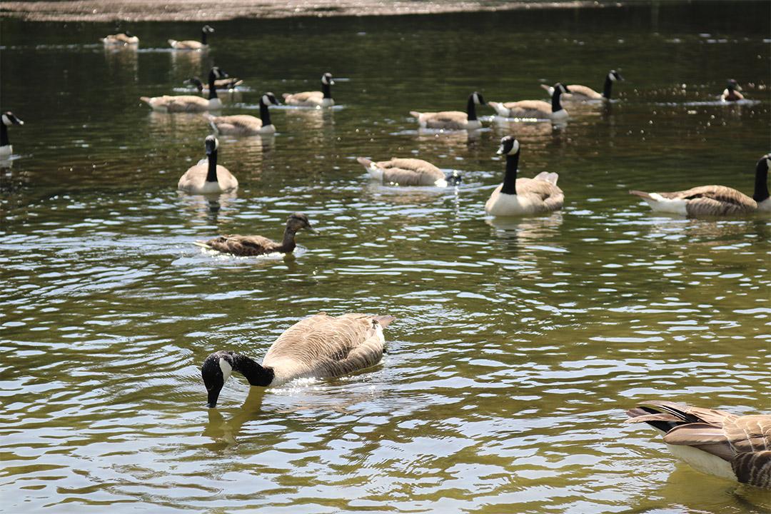 Geese enjoying the water at Pinetum Gardens