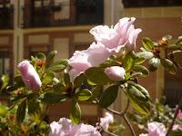Azaleas, la flor de la felicidad