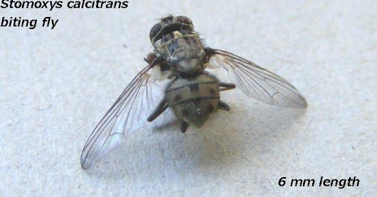 The Biting Fly Stomomyx calcitrans