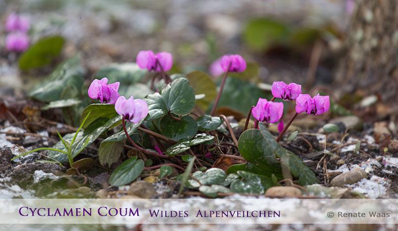 alles Wissenswerte zum Wilden Alpenveilchen - Cyclamen coum - wie Pflege, Vermehrung und Standort