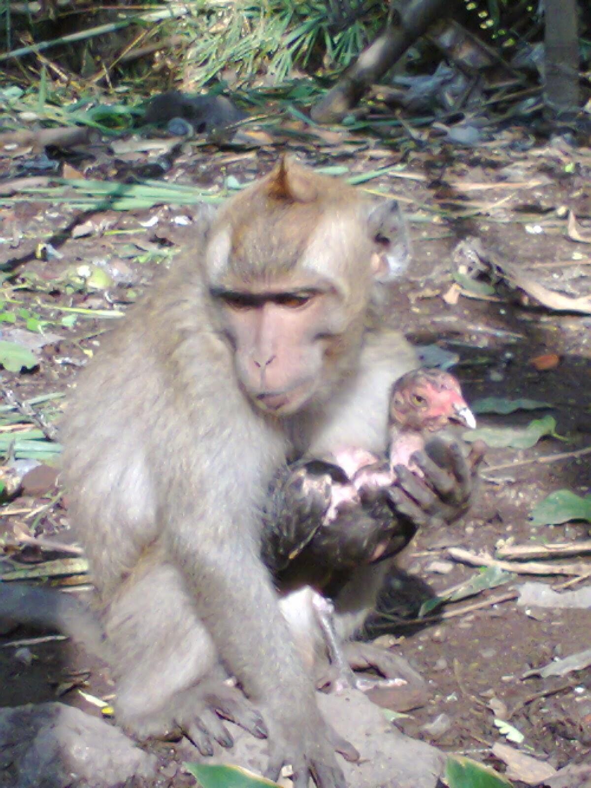 Foto Lucu Binatang Monyet Terbaru Display Picture Unik