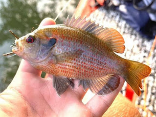 Fly fishing Town Lake, Fly Fishing Lady Bird Lake, Redspotted Sunfish, Sunfish on the Fly, Redspotted Sunfish on the Fly, Travis County, Fly Fishing for Sunfish, Fly Fishing Texas, Pat Kellner, Sunfish Identification, Texas Sunfish Identification Guide, Sunfish ID, How to determine a sunfish, Pat Kellner, Texas Fly Fishing, Fly Fishing Texas, Texas Freshwater Fly Fishing