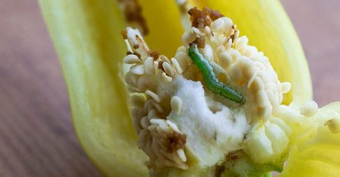 homyden.com/pepper-maggot-control-identify-prevent-get-rid-pepper-maggots/
