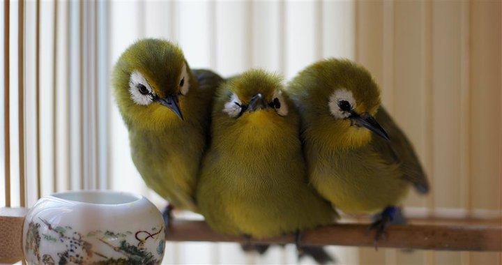 Free Download Mp3 Suara Masteran Burung Pleci Ombyokan