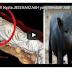 Azab Allah.Mayat Berubah Jadi Babi.Akibat Orang Yang Suka Berhutang Tapi Gak Pernah Melunasi Hutangnya di Dunia