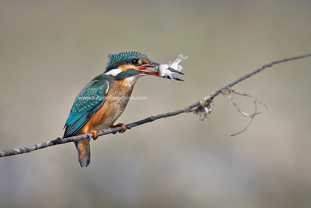 Common kingfisher eating fish
