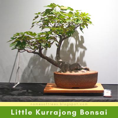 Little Kurrajong Bonsai