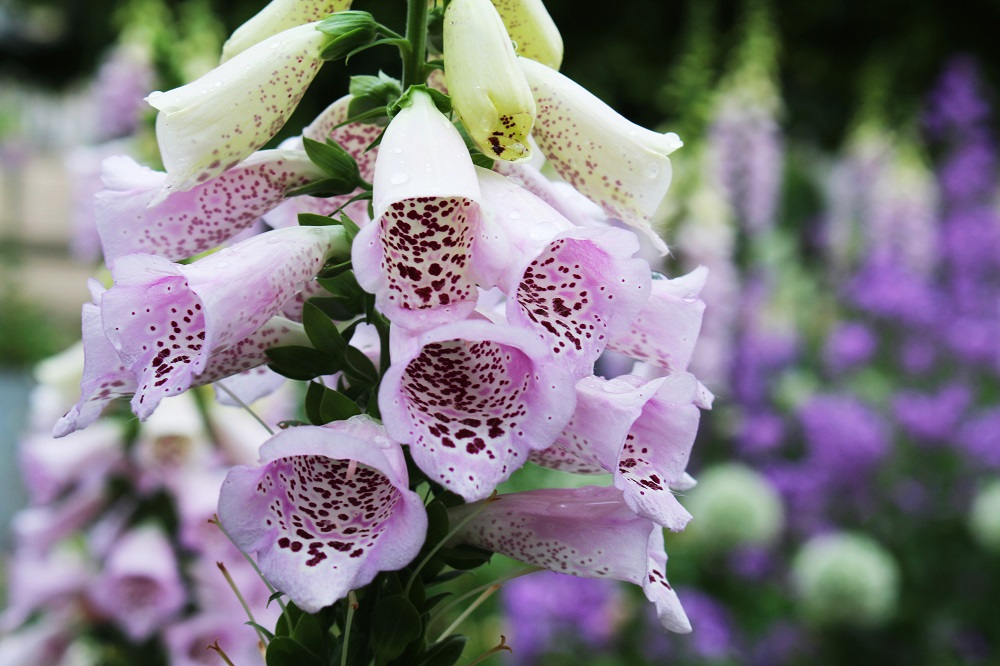 Foxgloves in Jardin des Tuileries - Paris travel & lifestyle blog
