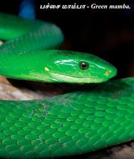 பச்சை மாம்பா - Green mamba.