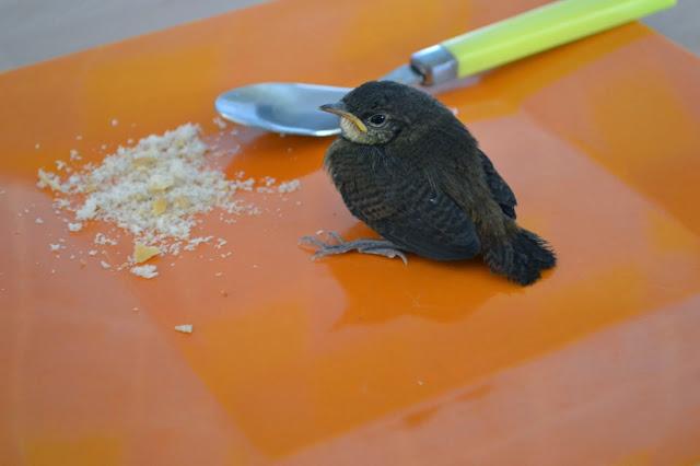 Guyane, Kourou, oisillon, sauvetage, oiseaux
