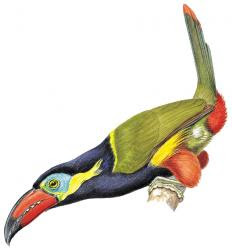 Red billed Toucanet