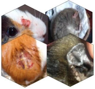 cobayes, soins, sante, animal, preventifs,vétérinaire,examen,traitement