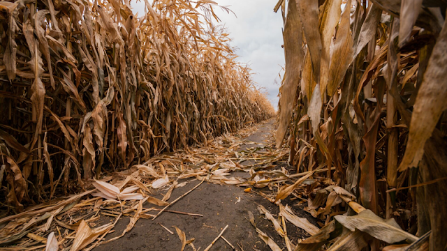 a wide pathway cut into a cornfield