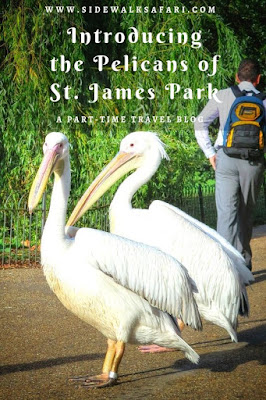 St. James Park Pelicans in London England