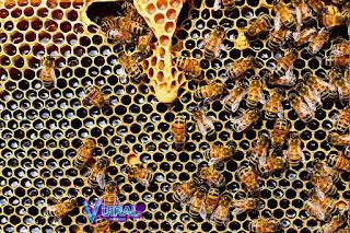 Contoh Hewan Arthropoda Lebah Madu