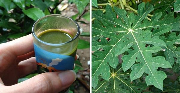 ulcer, diabetes, papaya leaf, cancer