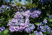 紫陽花残り