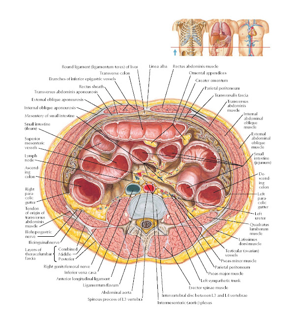 Cross Section at L3–4 Anatomy