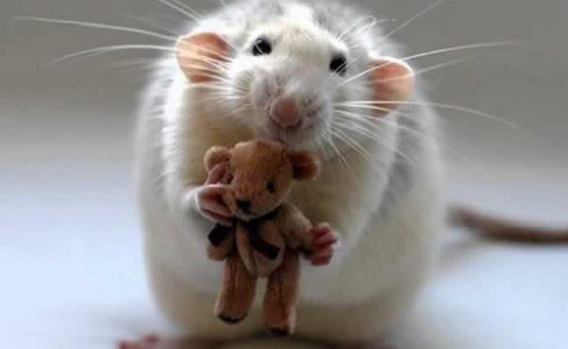 Análise do Comportamento (Placcido) - Rato fofo!