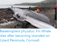 https://sciencythoughts.blogspot.com/2020/02/balaenoptera-physalus-fin-whale-dies.html