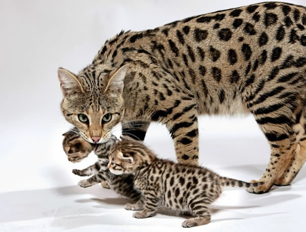 "Conheça ""Ashera""  o gato de mais raro e caro do mundo (US $125.000)"
