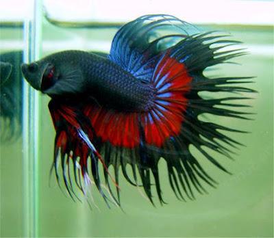 Black Crowntail