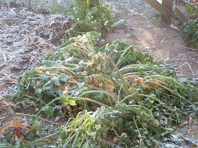 A patch of celery flopped over in the frost