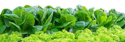 Rau sạch và kỹ thuật trồng