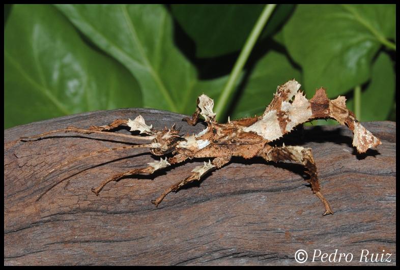 Ninfa macho L5 de Heteropteryx dilatata, 6 cm de longitud