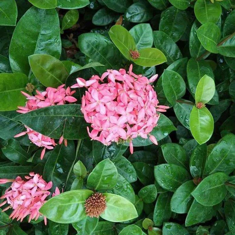 tanaman hias asoka violet bunga pink asoka daun besar Lampung