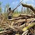 Pajak 10% Dikenakan Petani Tebu, Produksi Gula Nasional Makin Anjlok
