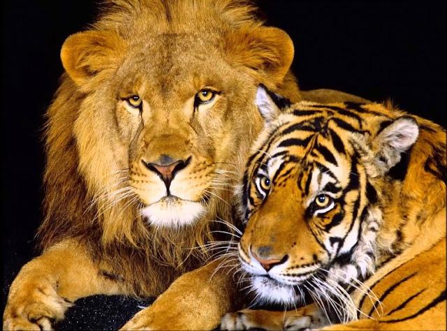 So sánh sức mạnh, tính cách trí thông minh của Hổ và Sư tử