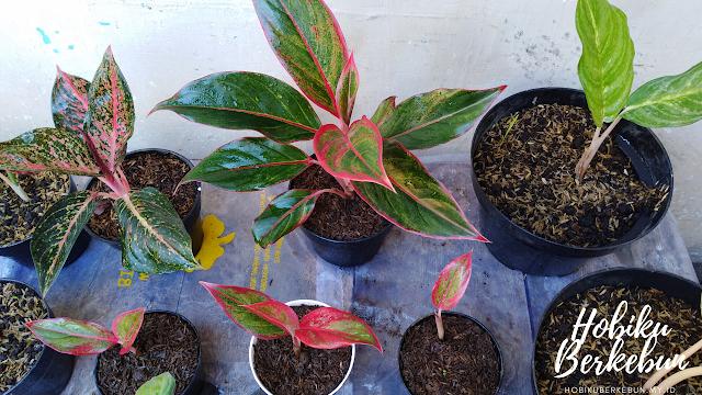 tanaman aglaonema cepat beranak